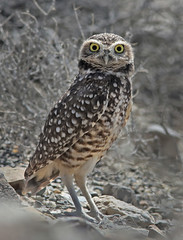 Burrowing Owl (Athene cunicularia) (Ron Wolf) Tags: athenecunicularia burrowingowl inyomountains owensvalley strigidae bird desert nature owl wildlife california