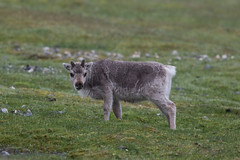 Svalbard Reindeer calf at Alkepynten S24A0975 (grebberg) Tags: alkepynten alkhornet spitsbergen svalbard july 2016 rangifer rangifertarandusplatyrhynchus reindeer mammal svalbardreindeer rangifertarandus
