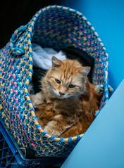 Downy Does Laundry (Gabriel FW Koch (fb.me/FWKochPhotography on FB)) Tags: cat basket box blue orange orangecat 100mm lseries canon eos dof bokeh feline sleeping ginger gingercat beauty cute whiskers face eyes ears fur mane
