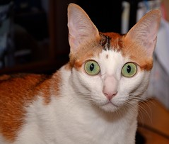 Surprise ! (Fredouce) Tags: cat bigeyes big eyes chat grand yeux surprise grandyeux