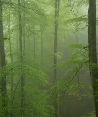 Luz verde (Ahio) Tags: trees mist verde green leaves forest woodland spring mayo niebla bosques fagussylvatica 31mm piloa smcpentaxfa31mmf18allimited pentaxk5 montesdelinfierno