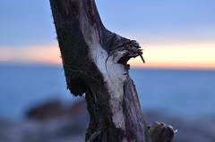 Canadian Driftwood (shireye) Tags: wood winter toronto ontario beach water sunrise nikon rocks bokeh driftwood lakeontario thebeach d7000 canadiandriftwood