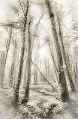 The Enchanted Forest (Explored) (LNS13) Tags: trees england bw sepia forest woodland ir woods infrared nationaltrust hertfordshire ashridge enchantedforest ruby2 ashridgeestate