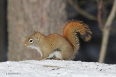 American Red Squirrel - Tamiasciurus hudsonicus (Gerald (Wayne) Prout) Tags: americanredsquirrel redsquirrel tamiasciurushudsonicus animalia chordata mammalia rodentia sciuridae tamiasciurus hudsonicus american red squirrel mammal mammals animal animals rodent wildlife nature herseylakeconservationarea cityoftimmins northeasternontario northernontario ontario canada prout geraldwayneprout canon canoneos60d eos 60d digital dslr camera canonlensef70300mmf456isusm lens ef70300mmf456isusm photographed photography herseylake hersey lake conservation area city timmins northeastern northern