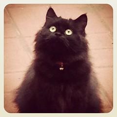 "Jacinta ""Sapa"" (CAUT) Tags: cat square kitty gato squareformat gata iphone earlybird caut iphone5 iphonegraphy iphoneography instagram instagramapp"