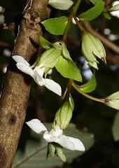 05602 001-01-0496 Cyrtandra grandiflora, occurrence 1, plant 1.  The inflorescences are borne mainly along the leafless older stems.  Hawai`i, O`ahu, southeastern Ko`olau Mts. (jqcl) Tags: plant hawaii oahu gesneriaceae nativeplant hawaiianislands koolaumountains cyrtandra nativehawaiianplant haiwale cyrtandragrandiflora