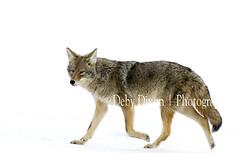 Dressed in white (Deby Dixon) Tags: coyote winter snow tourism nature photography nationalpark travels wildlife yellowstonenationalpark yellowstone wyoming debydixonphotography