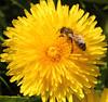Dandelion With Bee (gripspix (OFF)) Tags: flower nature insect spring natur dandelion bee archives blume insekt biene frühling löwenzahn taraxacumofficinale nachtrag 20110418