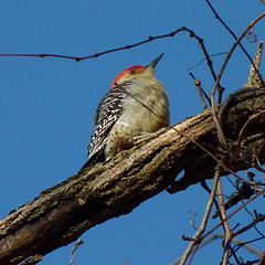 Red-bellied Woodpecker (Dendroica cerulea) Tags: winter bird birds forest woodpecker nj aves redbelliedwoodpecker highlandpark melanerpescarolinus pici fav10 middlesexcounty neornithes piciformes picidae melanerpes neoaves neognathae picinae dendropicini highlandparkmeadows