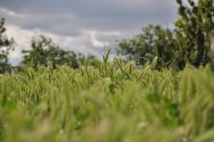 Green and Grey (By Saib) Tags: flower green nature fleur field grey gris bokeh vert champ blé d90 saib salerpipopette