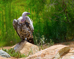 _MG_5158 (Mary Susan Smith) Tags: california travel vacation bird zoo big holidays large vulture carrion ruleofthirds sandiegowildlifepark gamewinner thechallengefactory tcfwinner tcfunanimouswinner pregamewinner