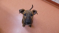Honey (Rayya The Vet) Tags: dog puppy canine vaccination twitter healthcheck whippetcross firstvaccination