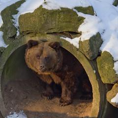 Ouwehands Dierenpark - is het al voorjaar?-2650 (Quistnix!) Tags: bear netherlands beer zoo nederland rhenen ouwehands dierenpark berenbos 2013 dierenparkouwehands ouwehandszoo
