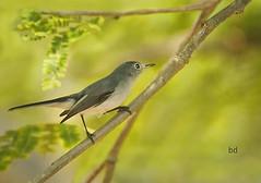 Blue-Gray Gnatcatcher (barbdpics) Tags: birdphotography explored windowofopportunity zihuatanejomexico bluegreygnatcatcher birdinginmexico nikond300s ourdailychallenge seenfromawindow barbdpics elmanglarrvpark