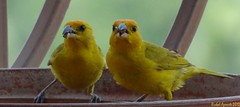 Gemelos................pareja..........? (Richal Azuarte) Tags: birds fauna venezuela aves pajaros maracay sanisidro aragua avesdevenezuela