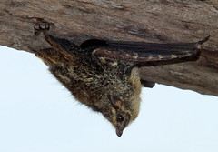 Proboscis bat  (Rhynchonycteris naso)