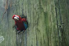 In a tree... (Jaedde & Sis) Tags: red tree green texture hole thumbsup macaw parot arachloroptera bigmomma gamewinner challengeyouwinner friendlychallenges challengefactorywinner thechallengefactory fotobronze fotocompetitionbronze herowinner mørkerødara pregamewinner