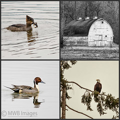 Nisqually National Wildlife Refuge (mwbergeron01) Tags: collage barn eagle mosaic ducks nisqually wildliferefuge americanbaldeagle oldbarn hoodedmerganser northernpintail