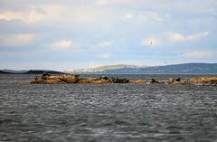 Essere Foca alle Shetland (Wrinzo) Tags: uk sea scotland europa europe seal seals shetland nord foca oceano scozia atlanticsea phocidae foche isoleshetland
