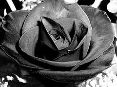awakened black rose (seanfderry-studenna) Tags: roses blackandwhite black flower art nature floral rose america photo petals gothic fine gray goth jet sable sombre charcoal pitch slate coal raven somber murky sooty dusky ebony awakened onyx livid bittersweet dingy fi
