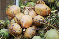 Dừa xiêm [Siamese Coconut] (pinnee.) Tags: horizontal closeup fruit outdoors photography colorful asia southeastasia day coconut nopeople vietnam bunch colourful tet coconuts saigon hochiminhcity freshness hcmc gettyimages tropicalfruit healthyeating southvietnam colorimage largegroupofobjects district8 tết asiaimages tetvietnam tetnguyendan southeastasiaimages tauhucanal tet2012 eattet tet2013 tauhuchannel eattết eattet2013 tếtquýtỵ tếtquýtỵ2013 xuân2013 springflowerfestival2013 flowerfestival2013 binhdongwarf benbinhdongroad quyty2013 tetquyty