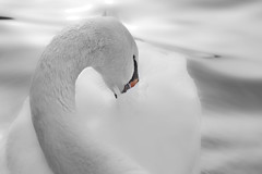 White as snow II (how1970) Tags: winter canon swan howd oaklandlake 135mmf2 oaklandgardens 5dmiii howardlaudesign