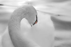 White as snow II (HOWLD) Tags: winter canon swan howd oaklandlake 135mmf2 oaklandgardens 5dmiii howardlaudesign