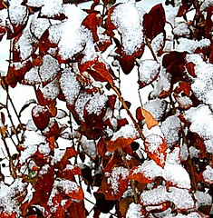 Winter in the Garden (marylea) Tags: winter snow burningbush jan29 2011