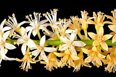Adenanthera pavonina flowers (Xylopia) Tags: mimosaceae redbeadtree arfp adenantherapavonina australianrainforestplants adenanthera qrfp redbeantree arfflowers csirokeyfeatures csirokf whitearfflowers yellowarfflowers tropicalarf lowlandarf cyrfp marginalarf