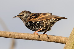 Starling, RSPB Rainham Marshes, Essex (Andy_Hartley) Tags: blinkagain rememberthatmomentlevel1 rememberthatmomentlevel2
