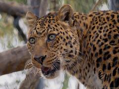 North China Leopard (Panthera pardus japonensis) - San Diego Zoo - Olympus E-520 - Zuiko 40-150mm F/4-5.6 (divewizard) Tags: china california giant zoo cub panda sandiego eating north chinese olympus leopard dslr sandiegozoo zuiko 43 sandiegocounty zd fourthirds 40150mm f456 northchineseleopard pantherapardusjaponensis eatingrabbit e520 40150mmf456 chrisgrossman zuiko40150mmf456 olympuse520 northchinaleopard