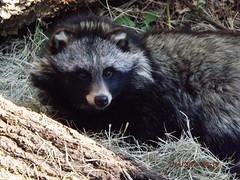 Tanuki (MsLiz788) Tags: tanuki zooatlanta zoosofnorthamerica