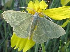 Synchlora aerata, Wavy-lined Emerald Moth (Digital University of Arizona Insect Collection) Tags: arizona august synchlora synchloraaerata pimacounty wavylinedemeraldmoth tucsonmts bbeatson duaic