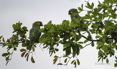 Wild Endangered Parrots of Belize (3503) (Ashala Tylor Images) Tags: trees green belize parrot endangered parrots hopkins endangeredspecies redlored yellowcheek hopkinsbelize ashalatylor ashalatylorcom yellowcheekparrot