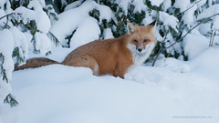 Red Fox (Raymond J Barlow) Tags: travel red art nature animal wildlife adventure fox teaching tours 200400vr allnaturallight nikond300 raymondbarlowtours