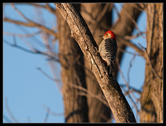 say hello to my little friend: woody woodpecker (contemplative imaging) Tags: park winter wild usa cold tree bird nature ecology digital america photography photo illinois woodpecker midwest day branch natural image photos district wildlife sunday birding conservation woody ps images il ill american area imaging fowl february eastern preserve lr goldenhour 43 ecological pleasantvalley redbellied partlycloudy conserve 3x4 midwestern mchenrycounty inthewild 2013 cs5 lr4 olye3 contemplativeimaging olyec14 ronzack 20130203 olye3a olyhg50200mk2 ciplv20130203e3