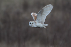 barn owl (Chiv3) Tags: winter bird barnowl radleylakes