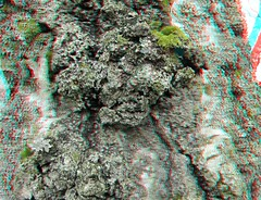 IMG_5131BarkLichenMoss (EdwardMitchell) Tags: red canon lumix stereoscopic 3d spokane cyan anaglyph powershot sx1 gh2