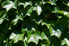 CT359 Ivy Wall (listentoreason) Tags: usa plant color green texture nature closeup america canon newjersey pattern unitedstates favorites places groundsforsculpture ef28135mmf3556isusm score30