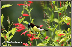 2866 - sunbird (chandrasekaran a 546k + views .Thanks to visits) Tags: india nature birds chennai sunbird tamron200500mm purplerumped canon60d