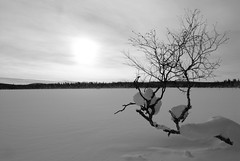 Boreal Lakeside Birch (paulkirtley73) Tags: trees winter blackandwhite cold tree forest sweden arctic birch betula borealforest northernforest