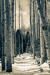 Mountain Trail I (Mabry Campbell) Tags: wood trees winter blackandwhite bw usa mountain snow cold newmexico santafe tree nature forest landscape photography 50mm countryside us photo woods whispering photographer shadows unitedstates image path unitedstatesofamerica f45 trail alpine photograph trunk aspens 100 trunks february nm aspen toned selenium photogragher ef50mmf14usm 2013 santafecounty sec eos5dmarkiii mabrycampbell february152013 whisperingaspen whisperingaspens 201302150h6a0363