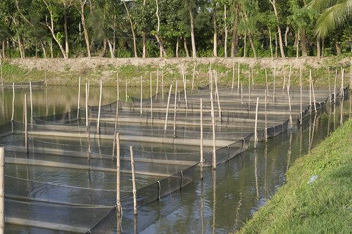 Hatchery in Sonaimuri, Noakhali, Bangladesh. Photo by Finn Thilsted, 2012.