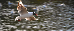 SeaGull flying over the Lake (Subha Pattnaik Photography) Tags: yorkshire leeds roundhaypark