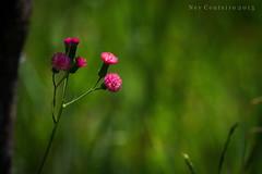 Flores do campo (Ney Couteiro) Tags: brazil flores flower color art canon cores arte natureza 7d cor gois goiania