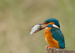 Kingfisher_6611 (Peter Warne-Epping Forest) Tags: bird canon wildlife kingfisher alcedo atthis avianexcellence