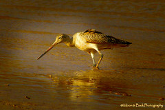 The Godwit And The Sunset (Aspenbreeze) Tags: lake bird nature water birds outdoors pond wildlife waterfowl avian waterreflection godwit coloradowildlife aspenbreeze moonandbackphotography bevzuerlein