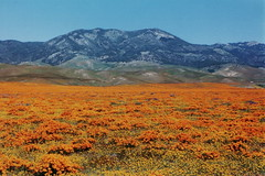Tejon Ranch (joeksuey) Tags: california poppies wildflowers antelopevalley flowerfields lupine coreopsis goldfields gormanhills tejonranch