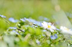 Blue (Tinina67) Tags: blur flower garden spring wiese jardin daisy tina gras blume garten fruehling tinina67
