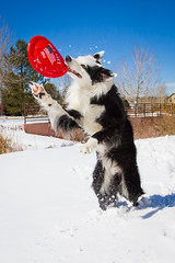 Werewolf Collie (Anda74) Tags: red march angle action wide frisbee bordercollie fetch ouzo canonef1740mmf4lusm oldnavy